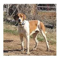 American English Coonhound Puppies for Sale from Reputable Dog Breeders