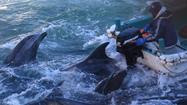 Japan defends dolphin kill as tradition; foreign envoys are critical