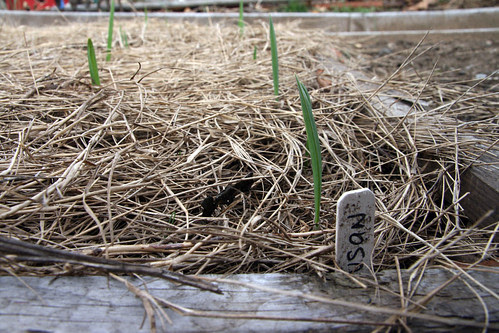 garlic sprouts