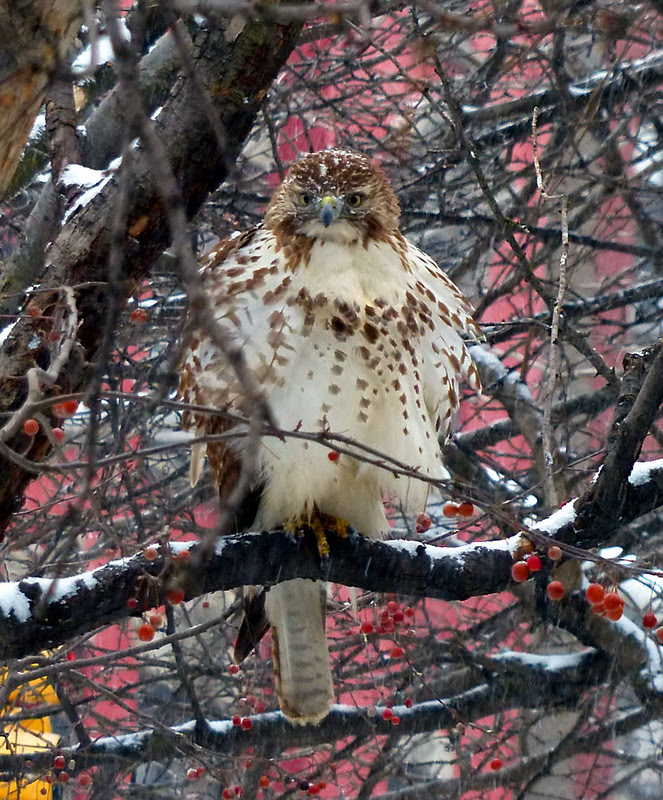 Fluffed up for snow