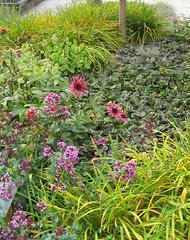 Oregano, Echinacea, Daylilies, Sedum & Ajuga