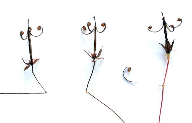 Wild geranium seed study