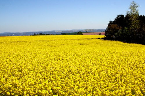 Czech Republic: rape field 49.246.03 by Juergen Kurlvink, on Flickr