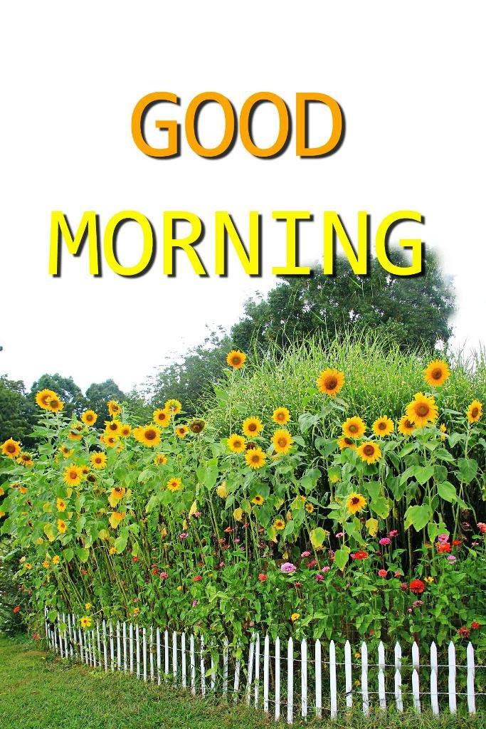 34 Sunflower Good Morning Wishes