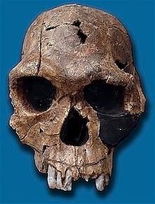 Cráneo de Homo habilis