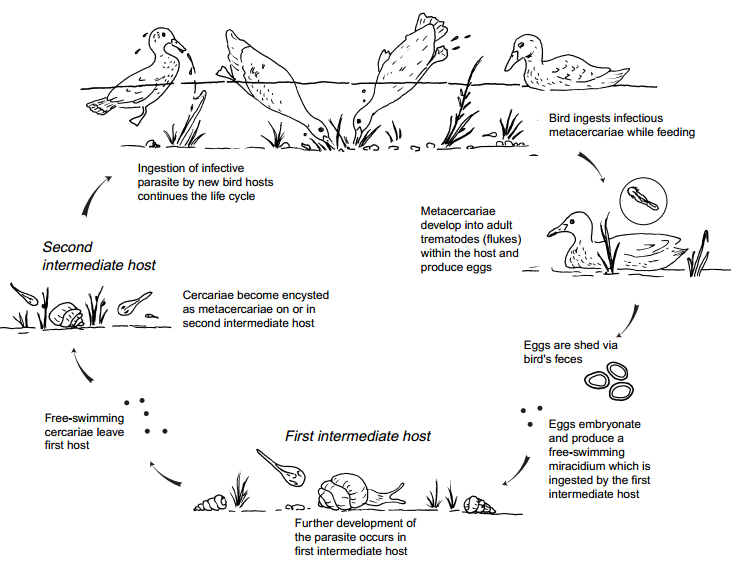 - Parasite host relationship in freshwater ecosystem diagram