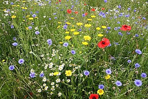 English: Wildflowers