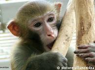 Un macaco es comparable a un niño de dos años, dicen organizaciones protectoras de animales y condenan los experimentos con estos monos.