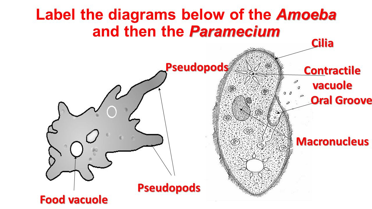 Label+the+diagrams+below+of+the+Amoeba+and+then+the+Paramecium