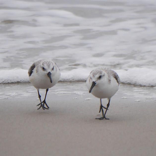 Ed Gaillard: birds &emdash; Sanderlings, Fort Tilden