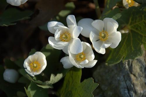 Sanguinaria canadensis, Bloodroot, Native Flora Garden, BBG