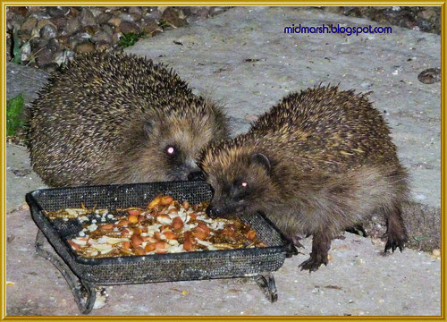 Snuffling Hedgehogs 3