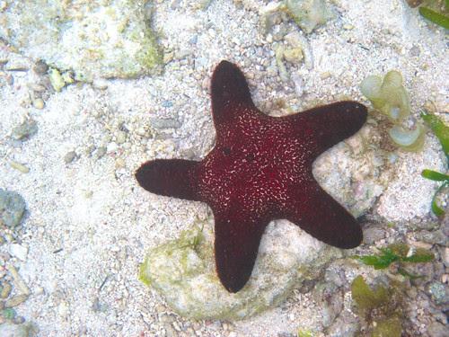 a maroon star