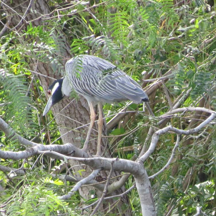 Texas 2015 yellow-crowned night heron for ws