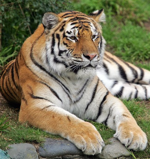 Tigers images cute tiger pics wallpaper and background