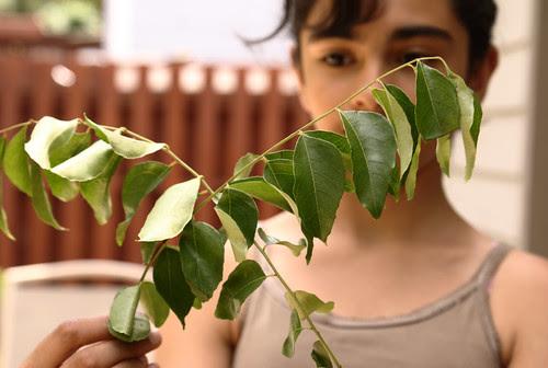 Kadipatta leaves