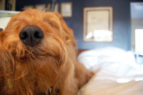terrier nose