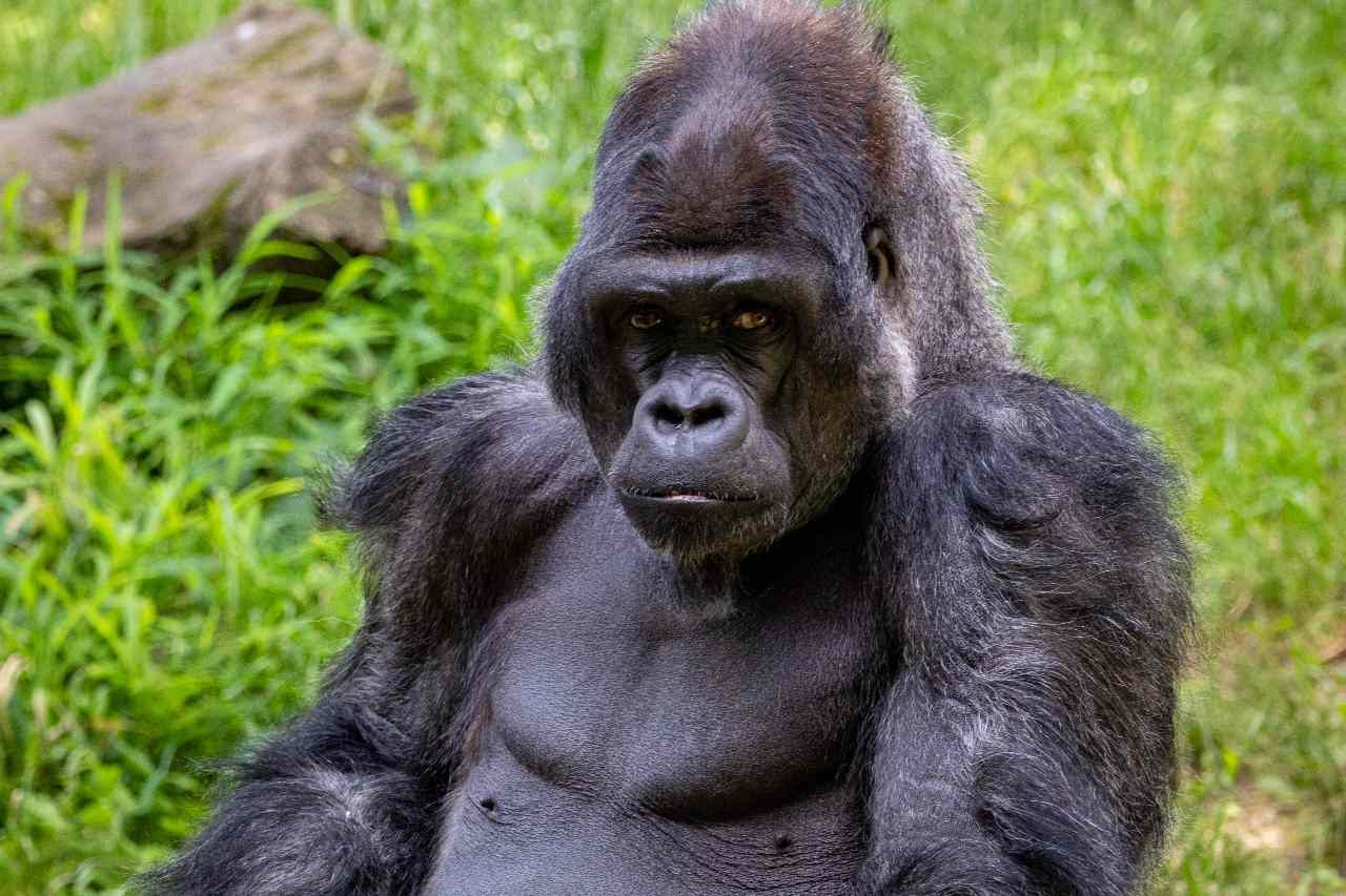 The scientists believe chest-beating may allow gorillas to send a signal that lets potential mates or rivals judge their size even without seeing them.