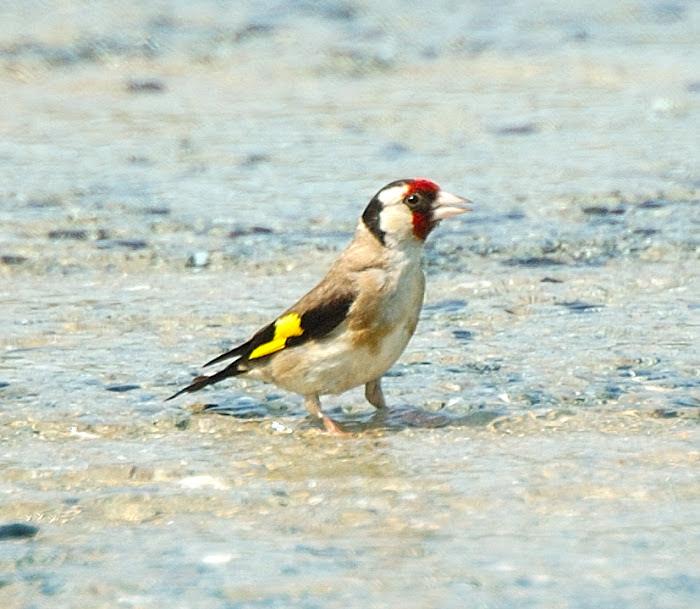 European goldfinch   Καρδερινα