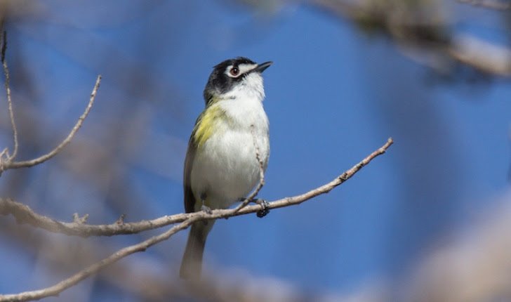 Photo of Black-capped Vireo by Laura Erickson