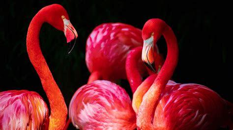 flamingos wallpapers hd wallpapers id