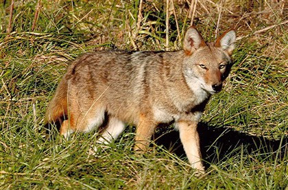 Coyote The coyote may be the most adaptive predator in North America, and its population is growing virtually unchecked in Pennsylvania.