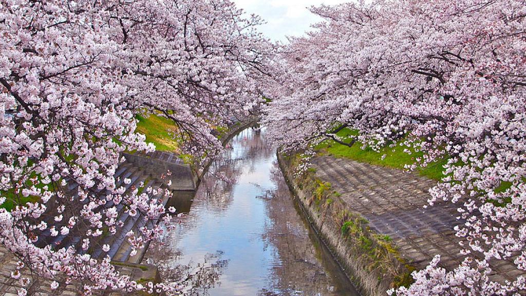 As floradas de cerejeiras mais bonitas em todo o mundo 08