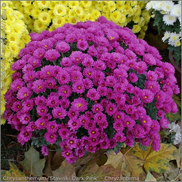 Chrysanthemum 'Staviski Dark Pink' - Chryzantema
