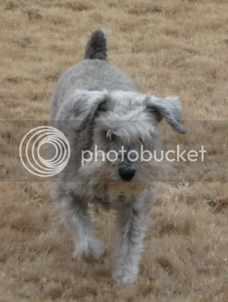 shaggy dog Schnauzer