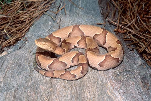 COPPER HEAD SNAKES