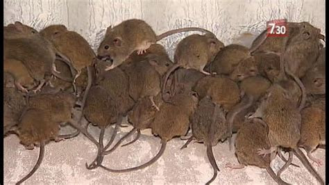 Image Gallery mice infestation