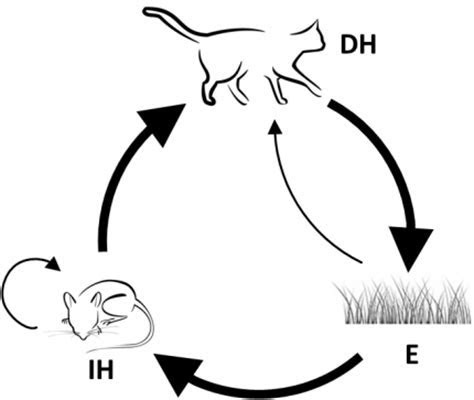 The Life Cycle of Toxoplasma gondii in the Natural Environment   IntechOpen