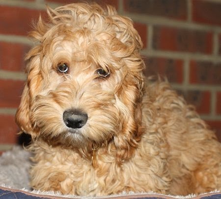 Noddy – 6 month old male Cockapoo