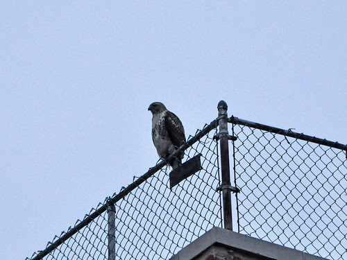 Young Red-Tail at 103rd St.