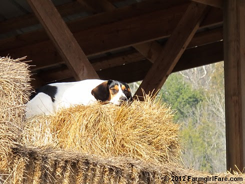 Beagle break 1 - FarmgirlFare.com