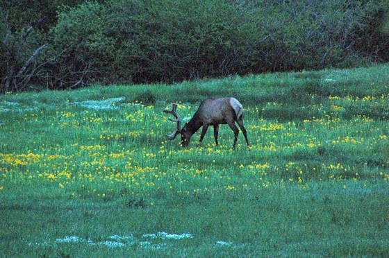 elk-in-meadow!.jpg