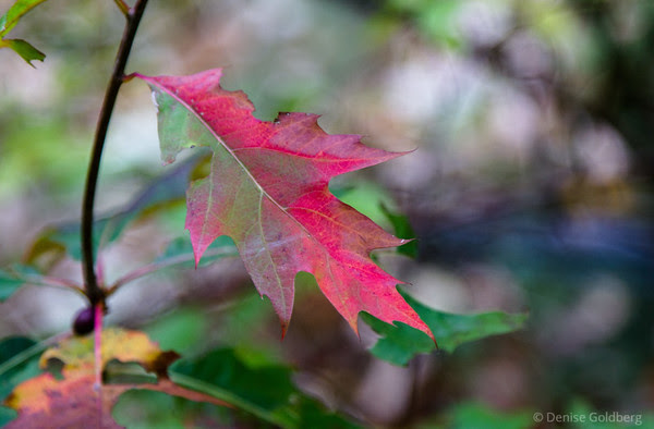 oak leaf changing with the season