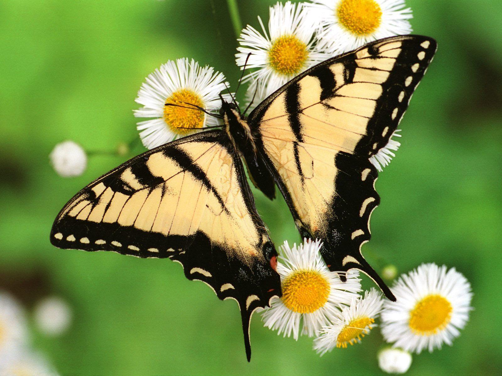 Beautiful Butterflies - Butterflies Wallpaper (9481683 ...