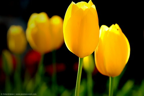 What Do Yellow Tulips Mean Hunker