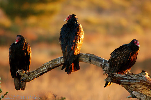 Turkey Vultures at Limantour Spit