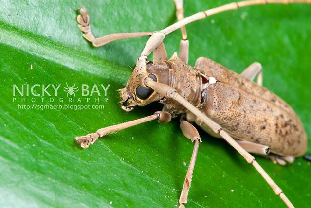 Mangrove Longhorn Beetle (Aeolesthes holosericeus) - DSC_0593