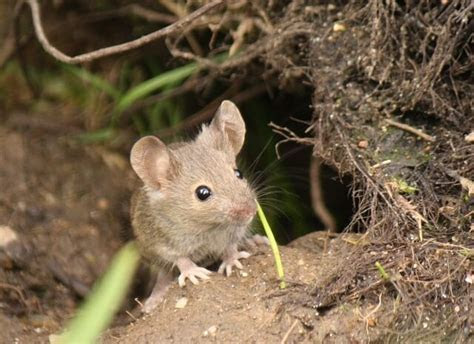 Image Gallery mice outside
