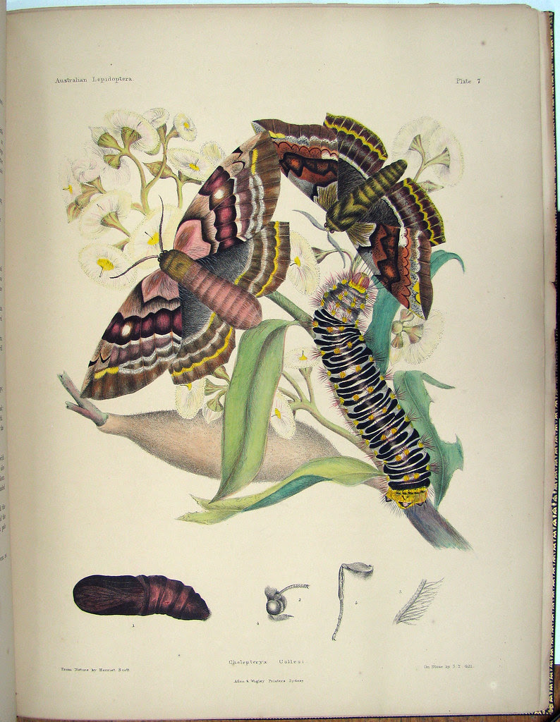 19th century lithograph of butterfly stages of life
