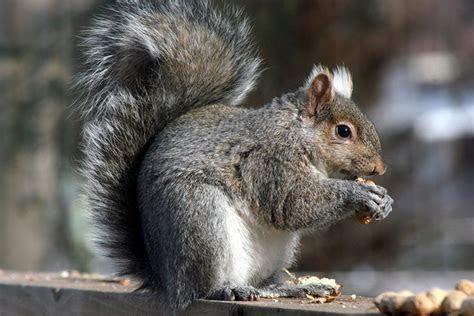 Gray Squirrel State Wild Game Animal   State Symbols USA