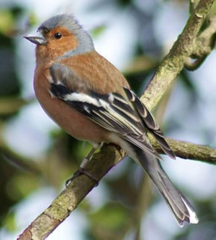 Oiseaux De Nos Jardins Pinson