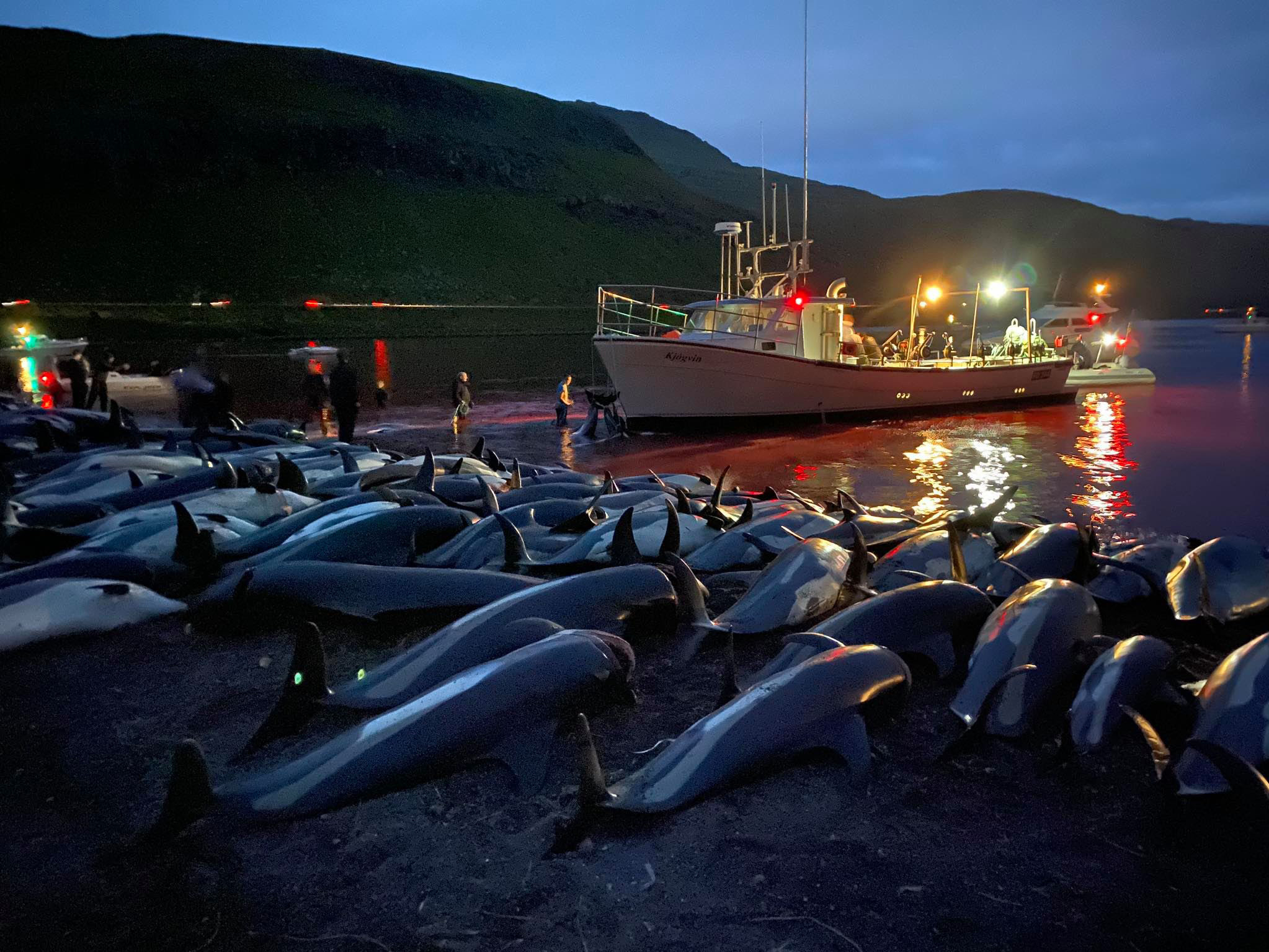 More than 1,400 dolphins killed in Faeroe Islands hunt, stirring fresh anger over old tradition