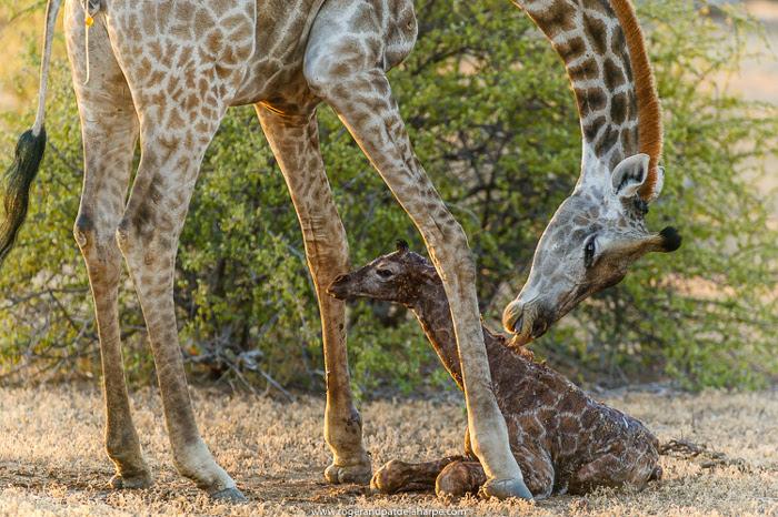 A Shaky Start For A Newborn Giraffe Africa Geographic