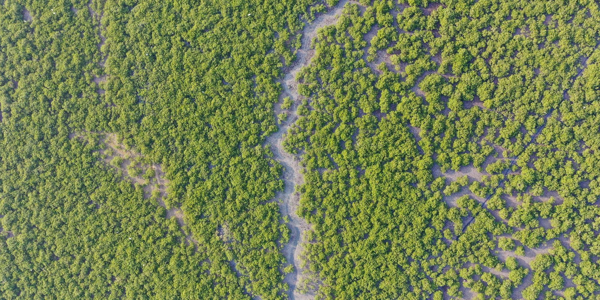china mangrove