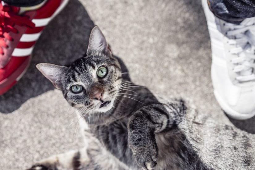 Gambar Kucing Jawa godean.web.id