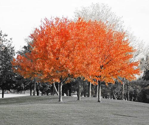 Orillia - Autumn Splendor; bright red autumn leaves on trees at Couchiching Beach Park